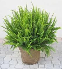 boston ferns a classic houseplant