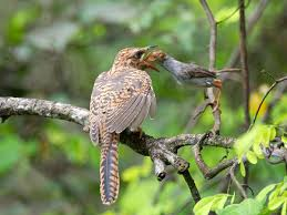 resident cuckoos and their host parents a pictorial guide