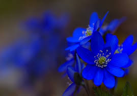 blue flowers blue flowers search something blue blue