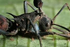 you can contribute to new research on zombie ants earth earthsky