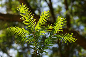 free images tree nature fruit flower produce evergreen fir
