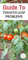 Tomato Tree Best 25 Tomato Farming Ideas On Pinterest Grow Tomatoes