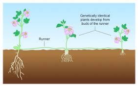 Vegetative Propagation By Roots - natural cloning bioninja