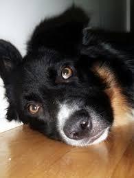 problems with australian shepherds lostdog 3 11 14 dallas tx 817 718 4511 black and white