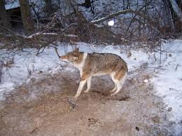 interesting coyote colors topics on exotic domestic farm and