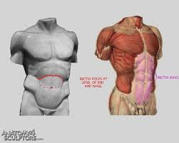 Human Anatomy Reference 90 Best Anatomy Torso Images On Pinterest Anatomy Reference