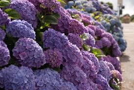 endless summer hydrangea u2013 lovely garden flowers and patio decor