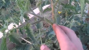 pruning suckers on tomato plants on a string trellis youtube