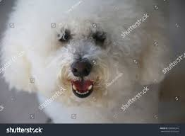 bichon frise long legs closeup bichon frise dog outdoors shade stock photo 588940244