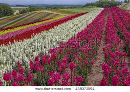 landscape flowers garden hokkaido japan stock photo 460700791