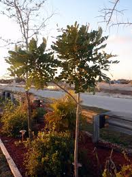 florida native plant nursery south florida gardening blog paradise tree simarouba glauca