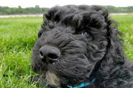 american pitbull terrier webbed feet barbet dog breed information pictures characteristics u0026 facts