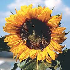 sunflower pictures american sunflower flower seeds veseys