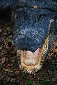 Alligators In Georgia Map 363 Best Alligators Images On Pinterest Alligators Reptiles And