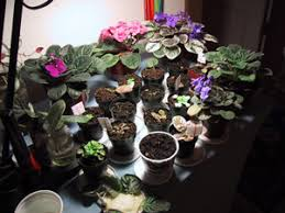 african violet grow light african violets up from the roots
