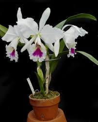cattleya orchids untitled document