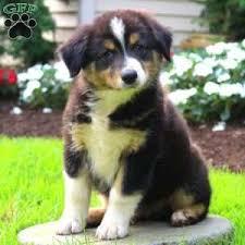australian shepherd breeders australian shepherd puppies for sale greenfield puppies