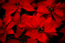 best florists in minnesota to get a holiday poinsettia wcco