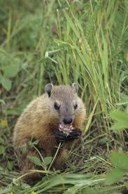 groundhogs eating plants hunker