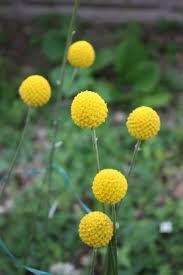 billy balls drumstick billy balls craspedia globosa 25 seeds