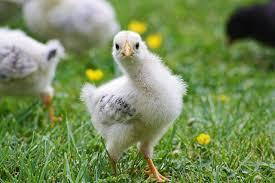 Chickens Backyard Chickens Backyard Chickens Events Things To Do Urban Farming