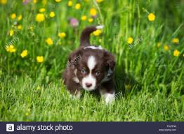 a mini australian shepherd miniature american shepherd or miniature australian shepherd or