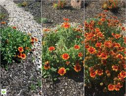 california native drought tolerant plants water efficient garden save water beautifully build a water