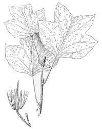 file psm v49 d822 tulip tree leaves jpg wikimedia commons