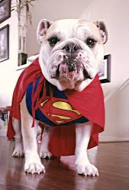 british halloween costumes superdog english bulldog in a superman costume love animals