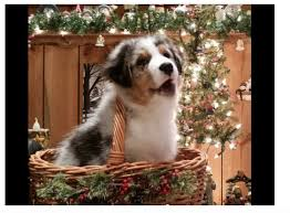 australian shepherd youtube herding 108 best australian shepherd images on pinterest australian