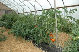 Tomatoes Trellis Maine Organic Farmers And Gardeners Association U003e Publications