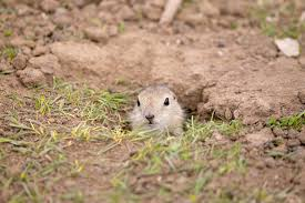 gopher control for ventura county
