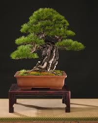 pot bonsai design the art of bonsai project feature gallery pine bonsai