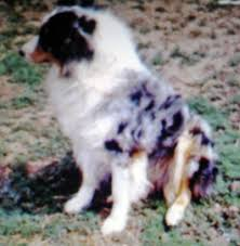 australian shepherd in spanish all about aussies the total australian shepherd