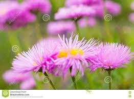 blumen lila gruppe lila astra blumen fotobeschaffenheit naturhintergrund