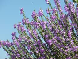 flowers tucson purple flowers bushes tucson tjs garden
