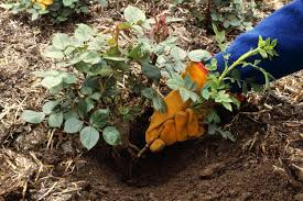 Vegetative Propagation By Roots - types of vegetative propagation