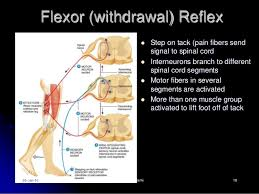 Pain Reflex Pathway Reflexes Clasifications And Functions