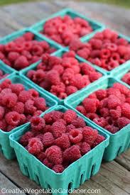 creative vegetable gardener the best way to grow raspberries