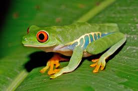 copy of tree frogs and dart frogs lessons tes teach