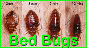 Can Bleach Kill Bed Bugs Bed Bugs How To Kill Bed Bugs Using Baking Soda Bed Bugs How