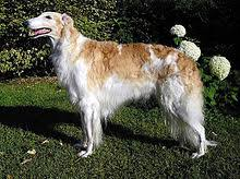 list of dog breeds recognized by the american kennel club wikipedia