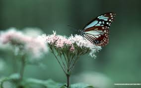 butterfly garden butterfly on flowers 1440x900 1440x900 no 13