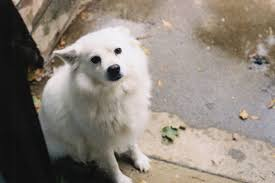 american eskimo dog virginia ideal american eskimo toy puppies dog breeds puppies