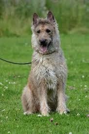 belgian sheepdog hypoallergenic belgian sheepdog belgian sheepdog groenendael pinterest