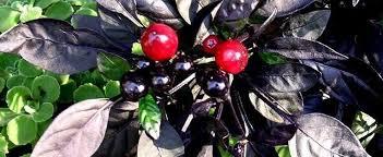 ornamental pepper capsicum annuum black pearl