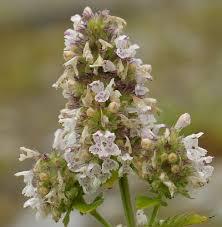 Catnip Flower - andy u0027s northern ontario alien wildflowers waste areas part 2