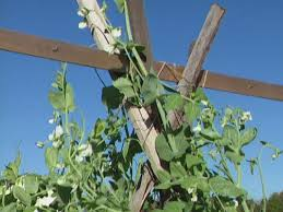 How To Grow Cucumbers On A Trellis How To Build A Trellis For Growing Peas How Tos Diy