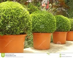 small beautiful trees in pots stock photo image 47076619
