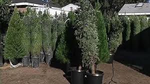 where to get christmas trees in san diego nbc 7 san diego